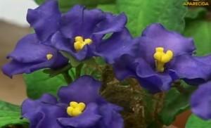 violetas-feitas-com-biscuit-para-decoração
