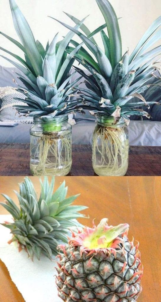 como plantar abacaxi em casa