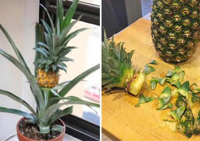como plantar abacaxi em casa (9)